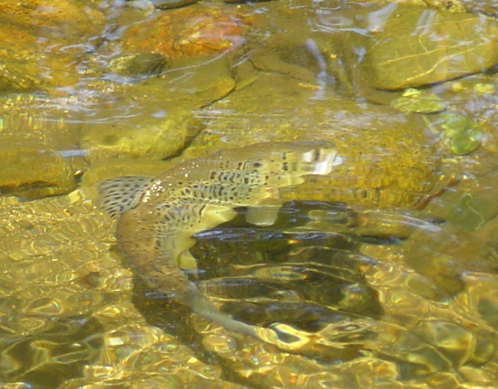 Dart Trout 2003